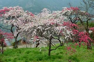 休場のしだれ桜.JPG