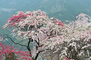休場の花桃.JPG
