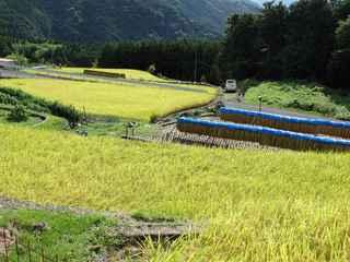 稲刈り20200906.JPG