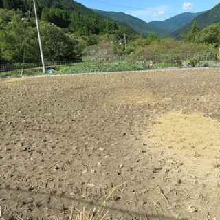 稲刈り本番3.JPG