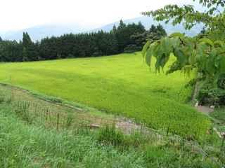 稲刈り間近1.JPG