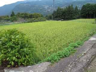 稲刈り間近4.JPG