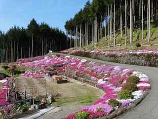 芝桜1.JPG