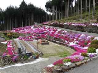 芝桜1 20200426.JPG