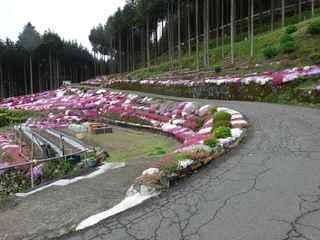 芝桜1 20200504.JPG